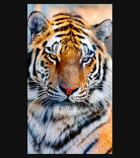 Majestic Tiger HD Wallpaper For Your Android Phone   SPLIFFMOBILE