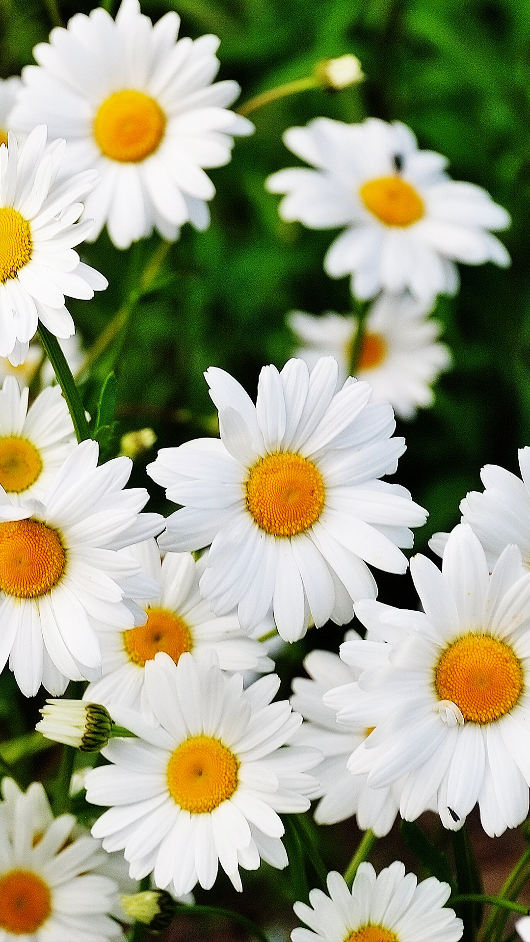 Daisy Flowers Cell Phone Background For Free