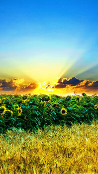 Sunflower Sunset