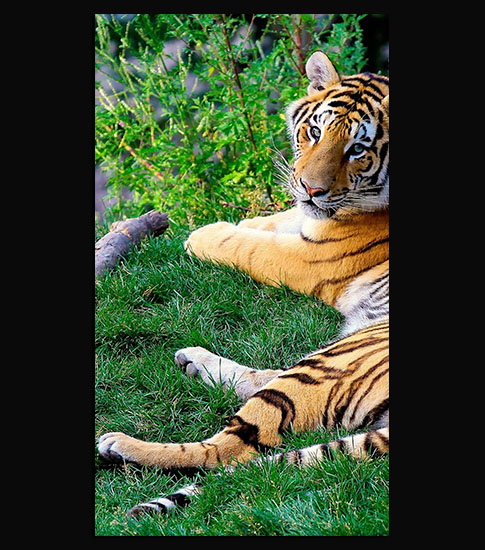 Bengal Tiger Cool Samsung Galaxy S7 Wallpaper