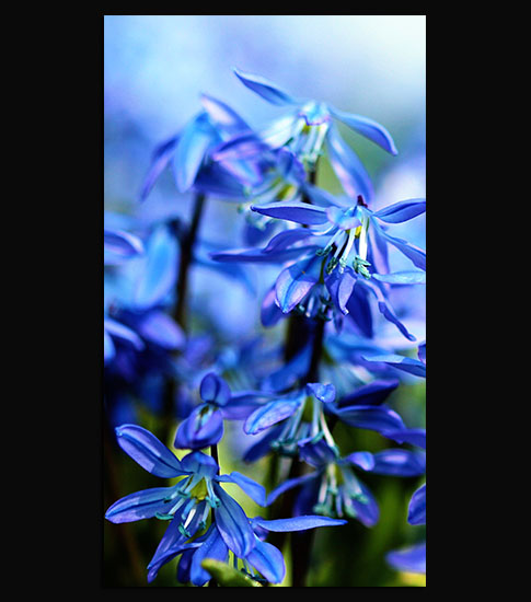 Bluebell Flowers Background For Your LG Phone