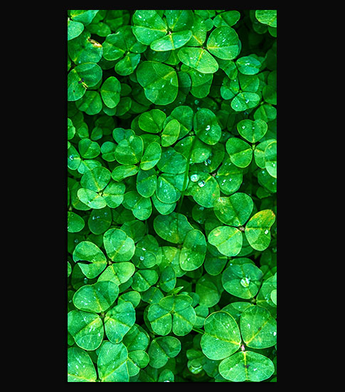 Clover iPhone 6 Plus Wallpaper