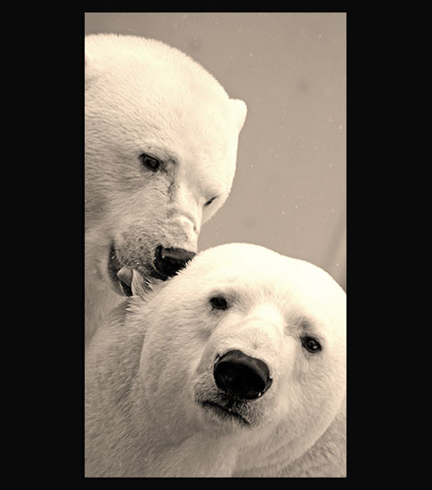 Polar Bears Samsung Galaxy Wallpaper