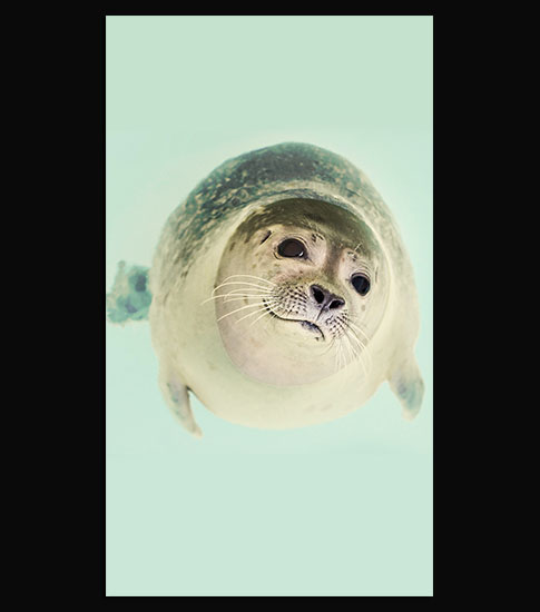 Seal Pup Background For Your LG Phone