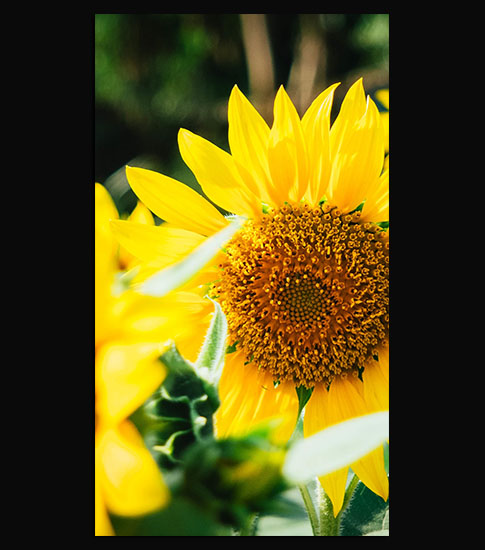 Sunflower Cool Samsung Galaxy S7 Wallpaper