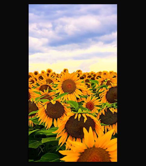 Sunflowers Samsung Galaxy Wallpaper