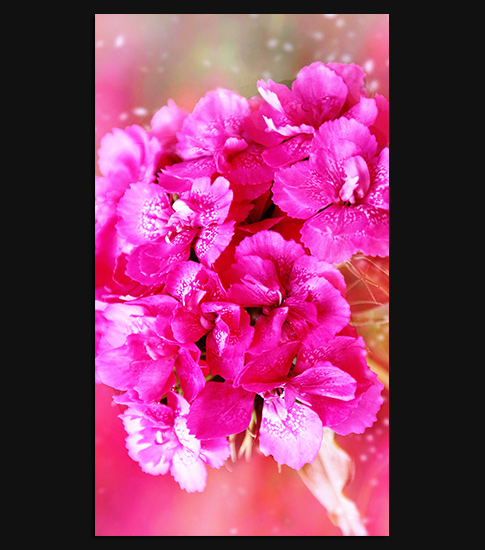 Carnation Flower HD Wallpaper For Your IPhone 6