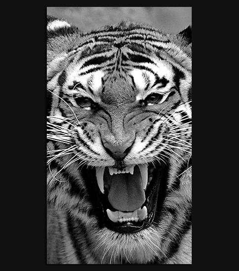 Bengal Tiger Hd Wallpaper For Your Samsung Galaxy Spliffmobile