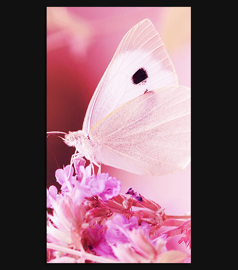 Pink Butterfly Hd Wallpaper For Your Samsung Galaxy Spliffmobile