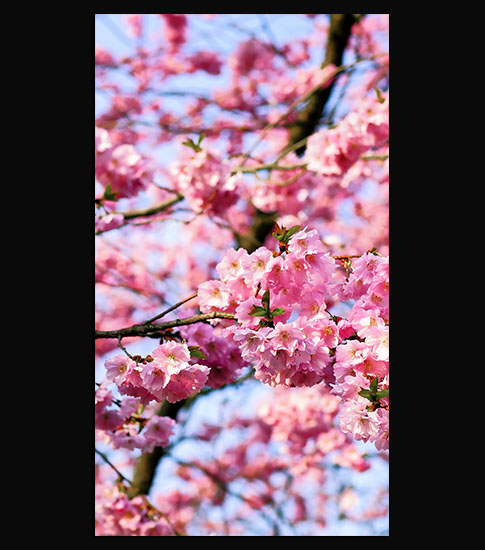 Cherry Blossom Tree Hd Android Phone Background