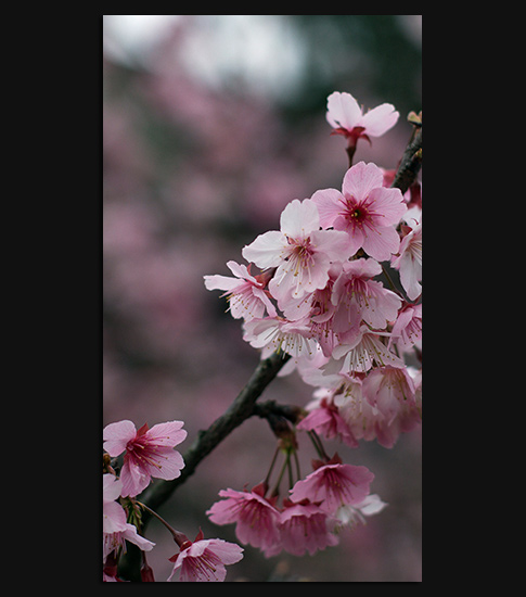 Cherry Blossom Hd Wallpaper For Your Android Phone Spliffmobile