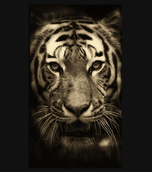 Tiger Hd Wallpaper For Your Android Phone Spliffmobile