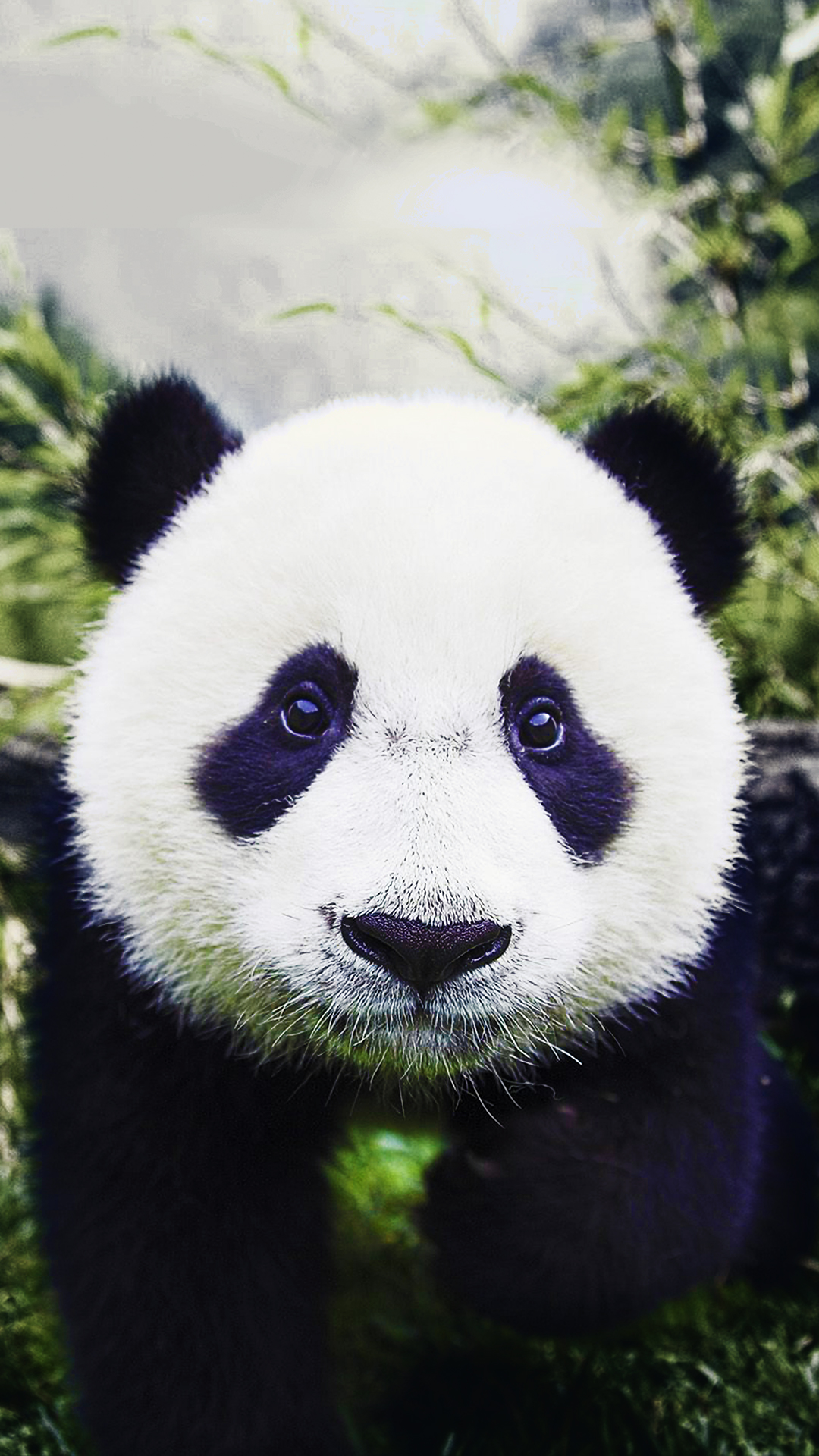 Baby Panda Hd Wallpaper For Your Mobile Phone