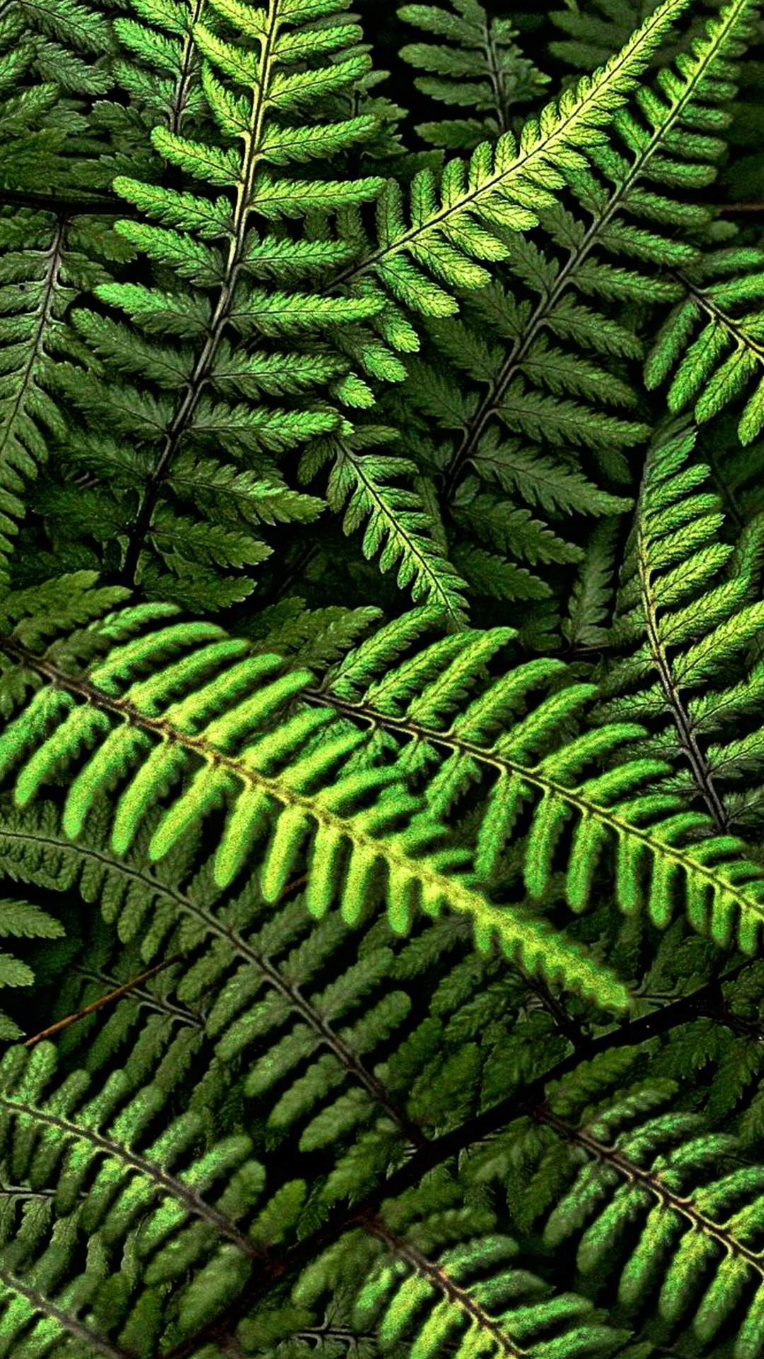 Green Fern Hd Wallpaper For Your Mobile Phone 5695
