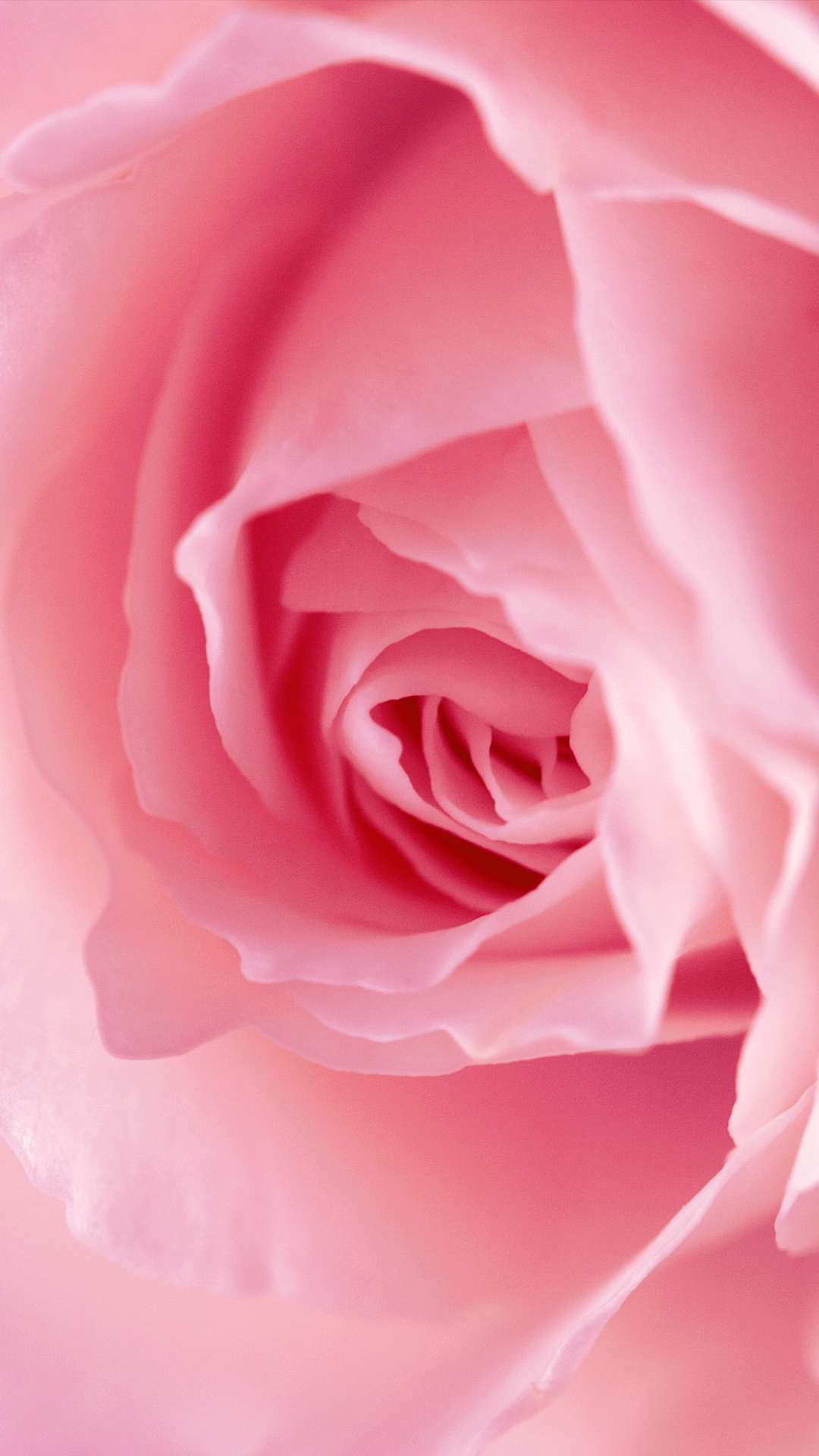 Pink rose hd wallpaper for your mobile phone - Pink rose hd wallpaper ...