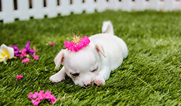 HD Cute Puppy Wallpaper
