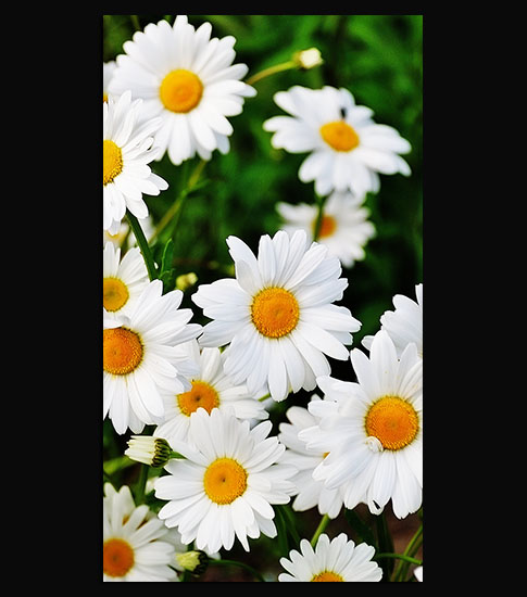 Daisy Flowers HD Wallpaper For Your Mobile Phone